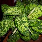 Homalomena wallisii 'Camouflage'