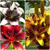 Kwiaty Lata -lilie