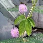 kwitnąca mimoza