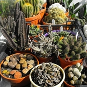 Nie - kaktusy