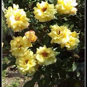 róże ;)