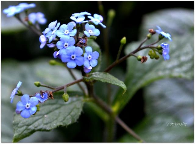 Błękit jesienny - Brunera