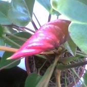 Anturium ma pączek kwiatowy, rozszalały się po zmianie miejsca i nawozu.