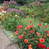 dalie w ogrodzie botanicznym wrocław