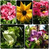 Jeszcze kwitną-hibiskus,rudbekia,astry,kobea