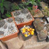 kaktusy z wystawy gliwice palmiarnia