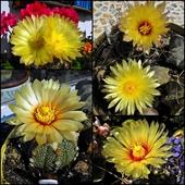 Kwiaty Astrophytum
