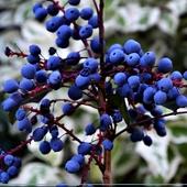 Niebieskie owocki...