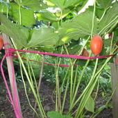 owoce stepowca himalajskiego