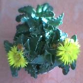 Rozkwitły pączki Faukarii :) :)