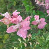 różowe ostróżeczki