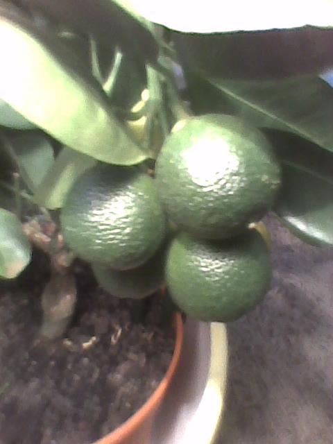 Kalamondyna zielone owoce