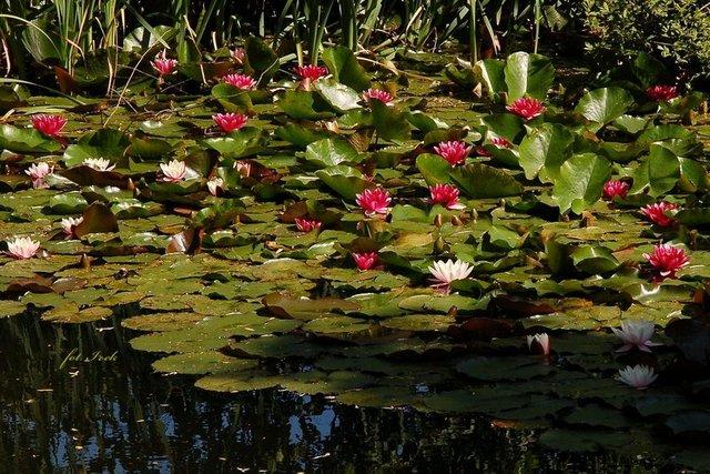 Lilie wodne czerwone