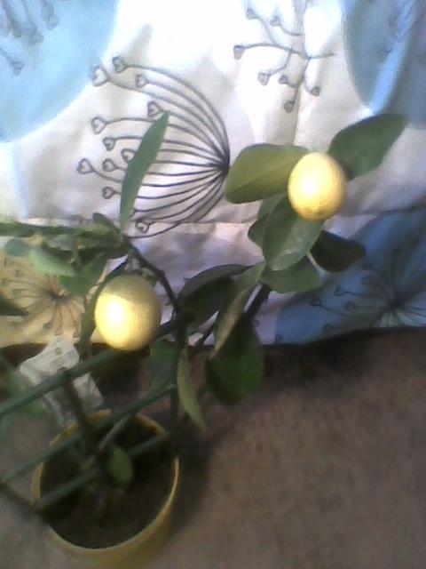 owoce na Limonelli już dojrzałe :)