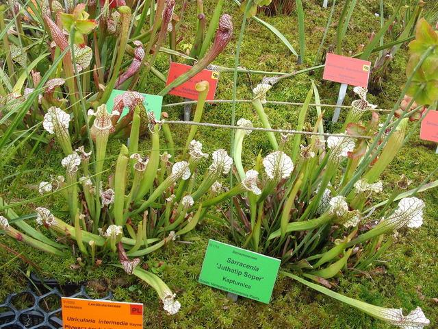 roślinki owadożerne kapturnice