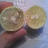 degustacja Limonelli...