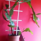 Epiphyllum Oxypetalum.