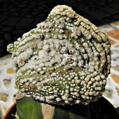 Kaktus jak huba