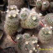 kaktusowato