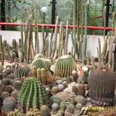 kaktusowe poletko