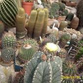 kaktusowo