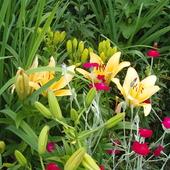 lilie na działce