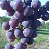Pełnia lata to pyszne swojskie winogrona :)