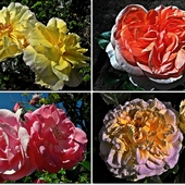 Portrety róż
