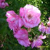 róża z archiwum