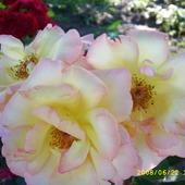 róże z archiwum