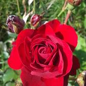 świąteczna moja róża