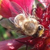 tak lubią pszczółki