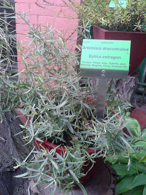 bylica estragon