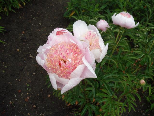 różowe