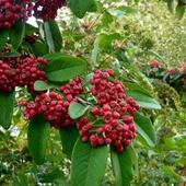 Cotoneaster × watereri