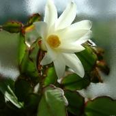 Grudniowy ale nie ''grudzień'' - kaktus wielkanocny postanowił zakwitnąć