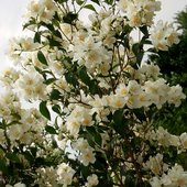Jaśminowcowa biel
