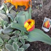 jedyny taki tulipan