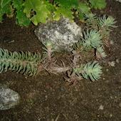 moja nowa roślinka chyba bażyna albo i nie
