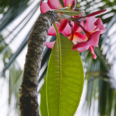 Plumeria różowa