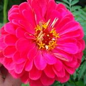 różowa