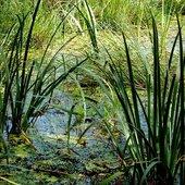 Trawy na mokradle