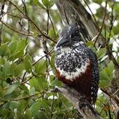 zimorodek olbrzymi....i faktycznie kawała ptaka