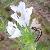 żmijowiec biały ta rośline