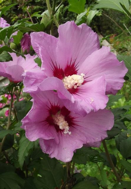 I jeszcze ogrodowy hibiskus :)