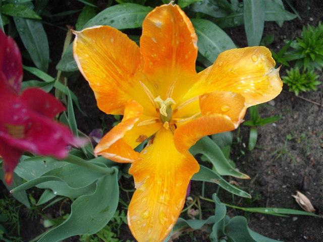 mój tulipan