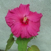 20 cm kwiat hibiskusa zimującego w gruncie...