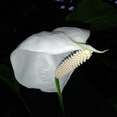 Biały W Palmiarni