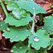Glistnik - jaskółcze ziele