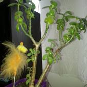grubosz jajowaty